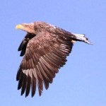 An eagle passes by!